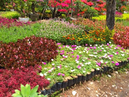 Masih banyak lagi tanaman lainnya seperti Bougenvil, Begonia, siklok dll.